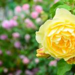 Mainau, gelbe Rose